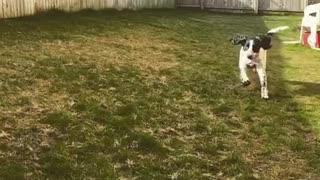 Epic fail dog catch