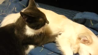 Dog gets a massage from her cat friend