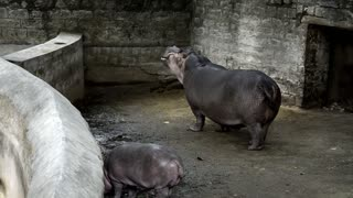 Baby Hippo Hungry Wants Food
