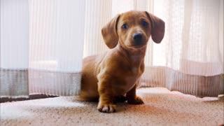 Funniest & Cutest Golden Retriever Puppies 2021