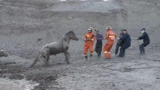 Fire Crews Rescue 18 Horses Stuck In Muddy Bog