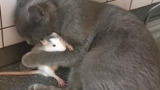 Cat Loves it's Rat