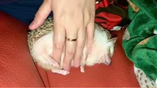Super Cute Funny Hedgehog Getting Belly Rubs