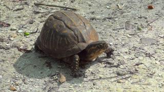 Free Box Turtle Stock Video Footage