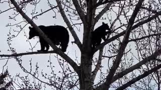 Black Bears Enjoy Family Time in the Treetops