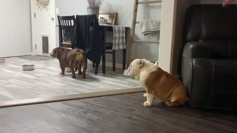 Bulldog with food of his own tries stealing other dog's food