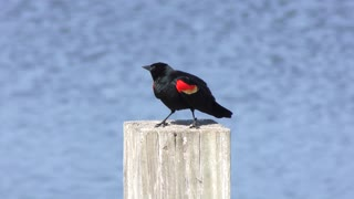 Red-Winged Blackbird mating call