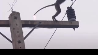 Poor little monkey on a power pole, accidentally electrocuted