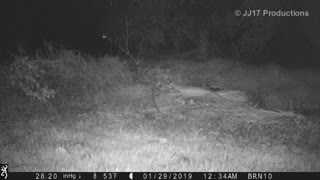 Coyotes & bobcat in the rain Redlands CA Browning Strike Force trail camera