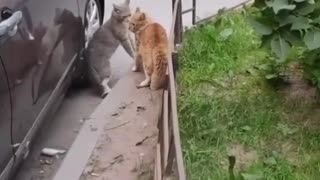 local battle of the cats