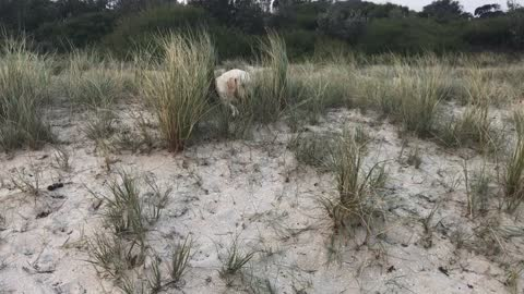 Naughty Puppy doesn't listen to owner with poisonous fish in mouth