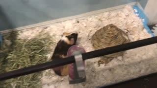 Guinea pig plays game of hide-and-seek