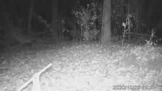Bobcat Oct 27 2020