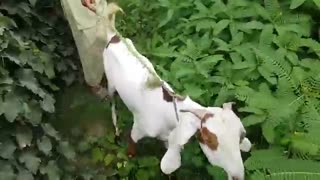 man meets first time with his goat