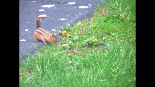 Baby Chipmunk's First Outing With Mom