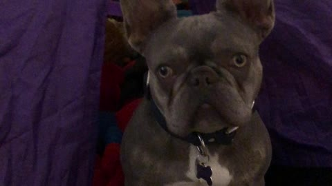 Bruno the French Bulldog