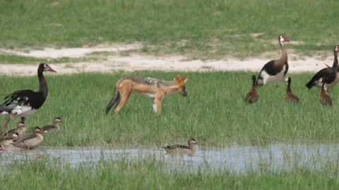Fox hunting birds in a pond - With beautiful music