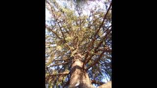 Elderly Common Spruce Heart Love