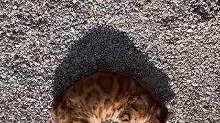 Funny Bengal beautiful cat at home