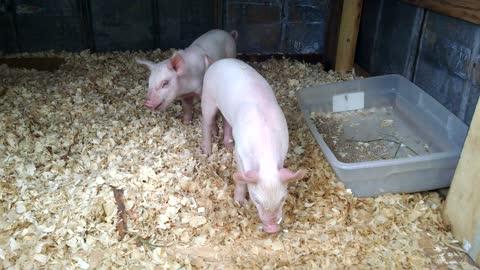 2 Little pigs
