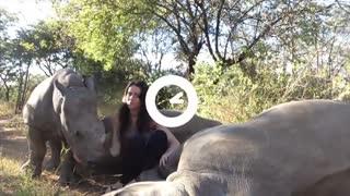 Rinocerontes não resistem aos carinhos de sua cuidadora