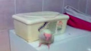FUNNIEST PARROT - Cute Parrot And Funny Parrot Video