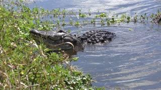 large bull alligator mating call