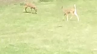 Baby deer follow mom back into the woods