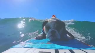 Coolest bulldog ever loves to go surfing
