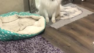 Naughty Samoyed dog has eaten owners shoe