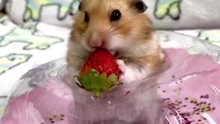 Cute little hamster adorably chows down on tasty strawberry