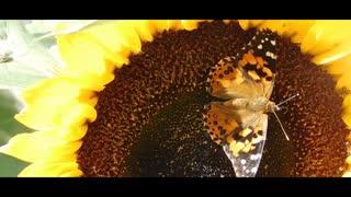 Beautiful Butterflies Videos with Calm Music