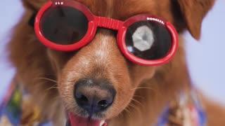 Summer Ready Dog