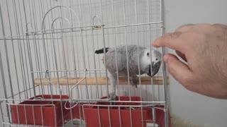 Cute parrot koko