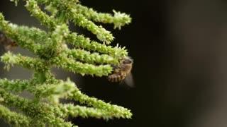 Honey bees flying around flowers