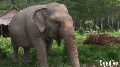 Elephant Looking For Food On The Ground