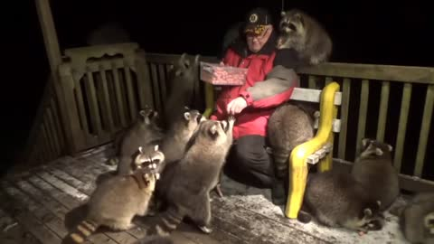 Raccoons Mob A Man