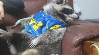 Raccoon is sitting on a couch with his family