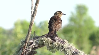 Red-Winged Blackbird female perches