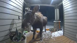 Moose Caught Munching on Plants