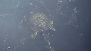 Yellow Cooter Turtle in Water at Sawgrass Lakes Park in St Petersburg Florida