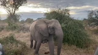 Herd of elephants rush with excitement towards their early morning drink