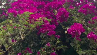 Beautiful vine flowers - Bougainvillea vines