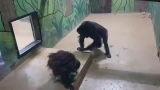 Orangutan Loves Korean Cup Noodles!!!