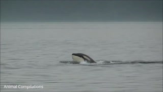 Wild Orca Killer Whales Swimming 2021
