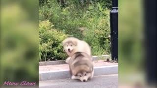 Baby alaskan malamute cutiest and funniest
