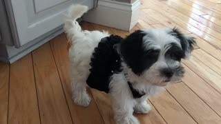 Cutest dog ever walks the runway