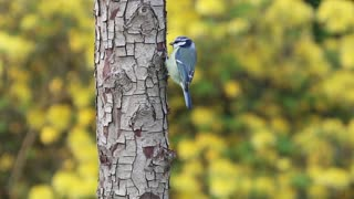 A beautiful blue bird that eats insects on a tree trunk