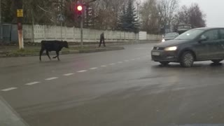 Cows are limitless