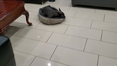 French bulldog about to go night night